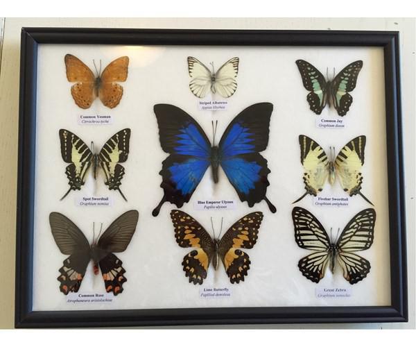 udstoppede sommerfugle i ramme